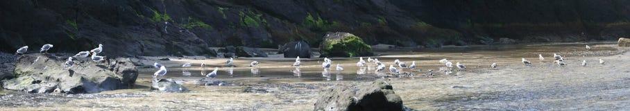Western gulls in fresh water s Stock Photo