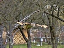 Western-headed siberian eagle owl, Bubo bubo sibiricus, in flying. One Western-headed siberian eagle owl, Bubo bubo sibiricus, in flying stock photo