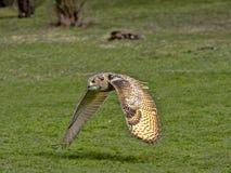 Western-headed siberian eagle owl, Bubo bubo sibiricus, in flying. One Western-headed siberian eagle owl, Bubo bubo sibiricus, in flying stock image