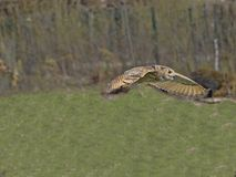 Western-headed siberian eagle owl, Bubo bubo sibiricus, in flying. One Western-headed siberian eagle owl, Bubo bubo sibiricus, in flying stock photos