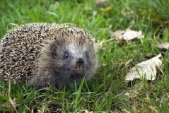 Western Hedgehog Royalty Free Stock Photos