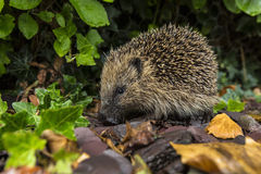 Hedgehog - British Isles Stock Images