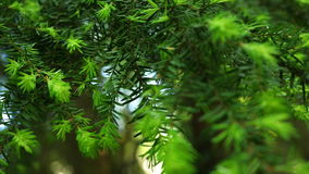 Western Hemlock Branches. Western hemlock with new growth swaying in the breeze stock video