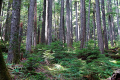 Western Hemlock and Douglas Fir forest Stock Image