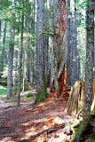 Western Hemlock and Douglas Fir forest Royalty Free Stock Images