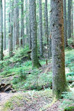 Western Hemlock and Douglas Fir forest Royalty Free Stock Photo