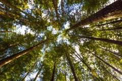Western Hemlock Grove Royalty Free Stock Photography
