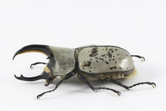 Western Hercules beetle Royalty Free Stock Images