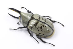 Western Hercules beetle Stock Photography