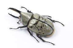 Western Hercules beetle stock photography