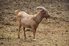 Western Highland Goat Royalty Free Stock Photos