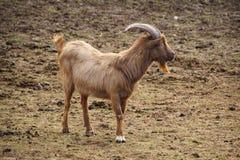 Western Highland Goat Royalty Free Stock Photos