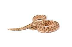 Western Hognose Snake Royalty Free Stock Images