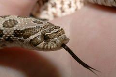Western Hognose Snake. Juvenenile Western Hognose snake with tongue protruding Royalty Free Stock Photo