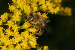 Western honey bee (Apis mellifera) Royalty Free Stock Photography