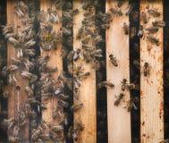 Western honey bee Apis mellifera Royalty Free Stock Photography