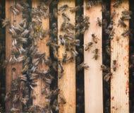 Western honey bee Apis mellifera Stock Photography