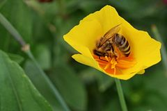 Western honey bee Apis Mellifera huddled in yellow garden flower. Western honey bee Apis Mellifera huddled in small yellow garden flower Royalty Free Stock Photos