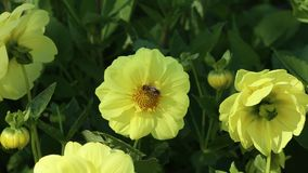 Western honey bee Apis mellifera on a yellow flower of Dahlia stock video