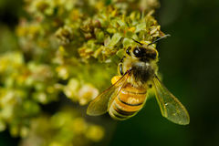 Western Honey Bee. Close up of a Western Honey Bee collecting nectar from a yellow flower. Also know as a European Honey Bee. Todmorden Mills, Toronto, Ontario Stock Photo