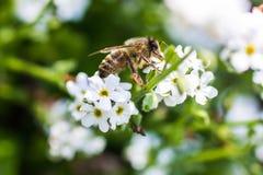 Western honey bee Royalty Free Stock Photography