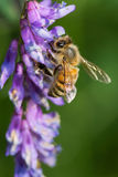 Western Honey Bee Stock Image