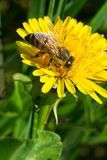 Western Honey Bee. Collecting nectar from a dandelion. Also known as the European Honey Bee. Rouge National Urban Park, Toronto, Ontario, Canada Stock Photo
