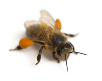 Western honey bee or European honey bee, Apis Stock Images