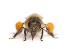 Western honey bee or European honey bee, Apis Royalty Free Stock Photos