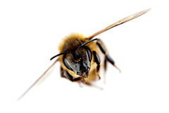 Western honey bee in flight. With sharp focus on its head, isolated on white Stock Photo