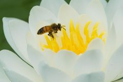 Western Honey Bee. Flying into a water lily. Also know as a European Honey Bee. Don Valley Brickworks Park, Toronto, Ontario, Canada Royalty Free Stock Images
