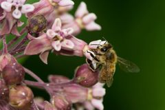 Western Honey Bee. Collecting nectar from a Milkweed plant. Also know as a European Honey Bee. Don Valley Brickworks Park, Toronto, Ontario, Canada Royalty Free Stock Image