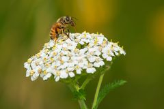 Western Honey Bee. Collecting nectar from a white, Common Yarrow flower. Also know as a European Honey Bee. Rouge National Urban Park, Toronto, Ontario, Canada Royalty Free Stock Photos