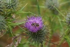 Western Honeybee - Apis mellifera Stock Image