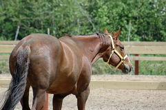 Western horse. Quarter horse mare out of stabble Stock Photo