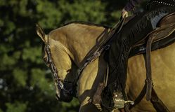 Western horse with rider. A side profile of a western horse with a rider on it Royalty Free Stock Photos