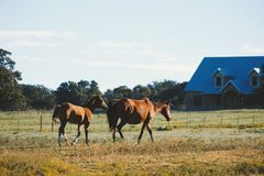 Western horses walking through farm grass royalty free stock images
