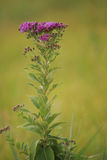 Western Ironweed royalty free stock photography