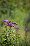 Western Ironweed Royalty Free Stock Photo