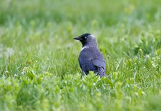 Western jackdaw with blue eyes royalty free stock images