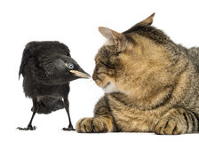 Western Jackdaw and cat looking at each other, isolated Stock Image