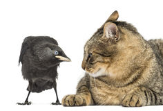 Western Jackdaw and cat looking at each other, isolated Royalty Free Stock Images