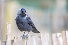 Western Jackdaw on chestnut fence Stock Photography
