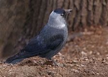 Western jackdaw. Close up of western jackdaw on ground Stock Photography