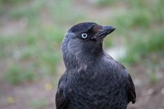 Western jackdaw close-up portrait on blurred green background royalty free stock photos