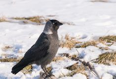 Western jackdaw close-up on snow. Western jackdaw close up on snow background Corvus monedula.Winter season Stock Photography