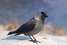 Western jackdaw close-up. Western jackdaw close up Corvus monedula in winter season Stock Images
