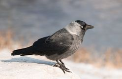 Western jackdaw close-up. Western jackdaw close up Corvus monedula in winter season looking for food Royalty Free Stock Photos