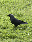 The Western Jackdaw Stock Photography