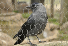 Western jackdaw (Corvus monedula) Stock Images